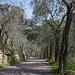 Schöne Olivenbaum-Allee