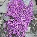 Gegenblättriger Steinbrech (Saxifraga oppositifolia) gehört zur Gattung Steinbrech (Saxifraga) und zur Familie der Steinbrechgewächse (Saxifragaceae). Siehe dazu: [http://de.wikipedia.org/wiki/Gegenbl%C3%A4ttriger_Steinbrech]