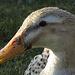 Freundliche Ente / anatra simpatica