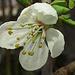 Blüte einer Mirabelle (Prunus domestica)