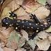 Prima salamandra