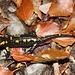 Seconda salamandra