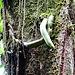 Gurken ? So sehen diese Baum-Schmarotzer beinahe aus. In Wahrheit leben sie in Symbiose mit den Nebelwaldriesen
