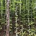 Junger Wald