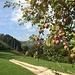 Apfelernte bei Sous le Mont
