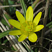 Scharbockskraut (Ficaria verna, Ranunculus ficaria)