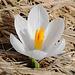 Der erste Krokus des Jahres spriesst in noch brauner Umgebung.