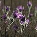 Zauberblumen / fiori affascinanti<br />Gewöhnliche Kuhschelle (Pulsatilla vulgaris)