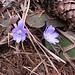 Hepatica nobilis Schreb.<br />Ranunculaceae<br /><br />Erba trinità.<br />Hépatique à troi lobes.<br />Leberblümchen.