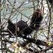 Eichhörnchen am Nest bauen.