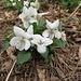 Weisses Veilchen (Viola alba)