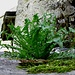 ...beh... non so voi, ma io adoro qs tipo di  erba selvatica,la divoro anche cruda,poi,in qs periodo la mangio spesso bevendo anche il decotto come un normale Consumè\consommè-                                                 TARASSACO Il tarassaco è una pianta erbacea perenne con molte proprietà benefiche per la salute. È diffuso un po' ovunque e cresce fino ai 1.800 metri di altezza, il suo nome scientifico è Taraxacum officinale, ed è conosciuto anche col nome di denti di cane o dente di leone.  Alcuni studiosi fanno risalire l'origine della parola tarassaco a due termini greci: taraxis, che significa squilibrio e akas, che significa rimedio. Già dal nome possiamo comprendere quali siano le proprietà fondamentali della pianta.  Cresce prevalentemente nei prati e si riconosce facilmente dai suoi fiori giallo intenso che lasciano presto il posto a globi soffici e piumosi chiamati soffioni. Il periodo migliore per la raccolta del tarassaco è a febbraio, oppure a settembre,  prima che la pianta fiorisca, nel pieno della sua tenerezza e delle sue proprietà salutari.  Uno dei modi più consueti per consumare il tarassaco è in insalata con dell'ottimo olio extravergine di oliva, sale e aglio crudo tritato finemenComposizione Chimica I denti di leone contengono il 3,1 % di proteine, lo 0,4 % di fibre, l'87 % di acqua, 3,6 % di zuccheri e l'1,1 % di grassi.  I minerali: calcio, sodio, ferro, fosforo, potassio, magnesio, zinco e selenio.  Le vitamine presenti nel tarassaco, o denti di cane, sono: vitamina A, vitamina B1, B2 B3, vitamina C, vitamina E e K. Sono inoltre presenti alfa e beta-carotene, criptoxantina-beta, luteina e zeaxantina.  È ricco di inulina, contiene olio essenziale, tannino, flavonoidi, acido caffeico e cumarico, oltre a una mucillagine altamente idrofila.Il tarassaco presenta varie proprietà farmacologiche, grazie soprattutto alle sostanze amare che caratterizzano anche il suo gusto: tarassicina e inulina.  Diuretico: è noto soprattutto per le sue propri