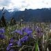 Veilchen (Viola) vor der Not, dem Kofel und dem Sonnenberggrat