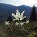 Buschwindröschen (Anemone nemorosa), gehört zu den Hahnenfußgewächsen / appartiene ai ranuncoli