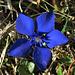 Frühlings-Enzian (Gentiana verna), Schusternagerl