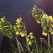 Abends, wenn die Sonne tief steht, fangen die Blumen zu leuchten an / Di sera, quando il sole si abbassa, i fiori incominciano a luccicare