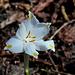 Am Vojenský rybník - Normalerweise schauen Märzenbecher ja meist schüchtern auf den Boden. Dieses Exemplar blickt allerdings fröhlich in die Sonne.