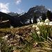 Blühende Märzenbecher auf der Alp Rheintaler Sämtis