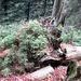 viel Jungwuchs - auf altem, umgestürzten, Baum