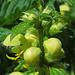 Gewöhnliche Goldnessel (Lamium galeobdolon)