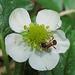 Walderdbeerblüte mit Ameise / fiore di una fragola di bosco con una formica