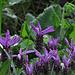 Schopflavendel (Lavandula Stoechas, Arabischer Lavendel)