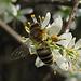 Fleißige Biene mit dicken Pollenhöschen und Tiefenschärfeproblem / ape diligente con mutandine grosse di polline e problema di profondità di campo