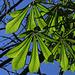 Frische Kastanienblätter / nuove foglie dell`ippocastano