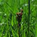 Wiesen-Sauerampfer (Rumex acetosa) kann man essen / comestibilie