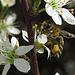 Biene mit Schlehenblüten / ape con fiori di prugnola<br />Pollenhöschen Seitenansicht / mutandine di polline vista laterale
