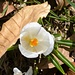 nur ganz vereinzelt offene Blüten