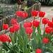 Tulpenpracht im Familiengarten Auwiesen