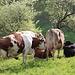 Sadtzürcher Kühe haben eine Sitzung