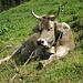 Eine glückliche Kuh die ihr Hörner noch behalten darf. Solche  tierfreundliche Bauern sind noch echte Bauern!!