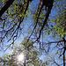 Sonne und Kastanienbäume