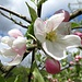 letzte prächtige Obstblüten ...