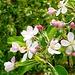 Apfelblüten wo das Auge hinreicht