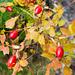 Beeren der Alpen-Hagrose (Rosa pendulina)