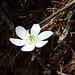 Hepatica nobilis di colore bianco