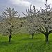 Es hat noch Kirschbäume welche noch blühen