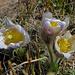 Frühlings-Anemonen, etwas  mitgenommen vom Wintereinbruch