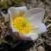 noch auf  2220 m blühen die  Anemonen