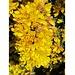 Unterwegs: Blüten des (unbeliebten, aber allgegenwärtigen) Stechginsters ..