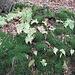 Politrico comune (Polytrichum commune)