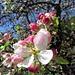 Apfelblüten & Knospen.