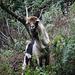 """Ein """"wildes"""" Tier mit einem langen Hals - wohl eine Ziege"""