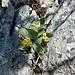 blühen die Aurikel