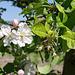 Wie im Vinschgau: Apfelblüten und ...