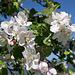 ... nochmals Apfelblüten