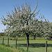 Apfelbaum - Hochstämmer in Meienried
